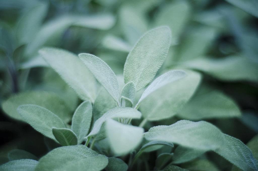Salbei (Salvia officinalis) im Garten.